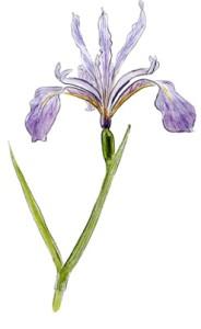 Iris Hartwegii